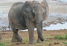 Détente d'éléphant Photos stock