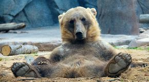 Détente d'ours gris Images libres de droits