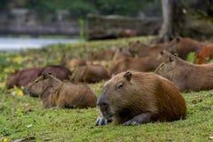 Détente de Capybara Photographie stock