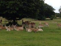 Détente de cerfs communs affrichés Images stock