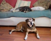 Détente de deux vieille chiens images libres de droits