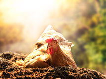 Détente de la poule de poulet se situant dans le sol de saleté contre le beau soleil Photos stock