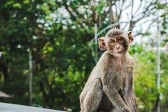 Détente Long-coupée la queue par bébé de singes de macaque Photos stock