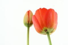 Développement d'une tulipe image stock