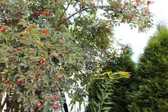 Développez-vous dans le jardin dans la soirée Fruits, écrous et feuilles de l'usine pendant d'une branche d'arbre images stock