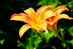 Día anaranjado Lily In Backyard Garden imágenes de archivo libres de regalías