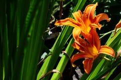 Día anaranjado Lily In Backyard Garden foto de archivo libre de regalías