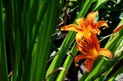 Día anaranjado Lily In Backyard Garden Imagen de archivo