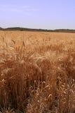 Día asoleado en un campo del maíz Imágenes de archivo libres de regalías