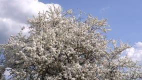 Día claro del primer del árbol de la flor de cerezo en abril 4K almacen de metraje de vídeo