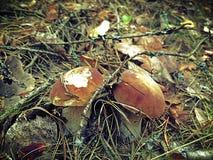 Día de Autumn Sunny en setas en el bosque imagen de archivo libre de regalías