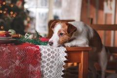 Día de fiesta de Jack Russell Terrier de la raza del perro, la Navidad Imagen de archivo libre de regalías