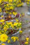 Día de fiesta lunar vietnamita del Año Nuevo del flor amarillo del albaricoque en el norte Foto de archivo libre de regalías