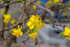 Día de fiesta lunar vietnamita del Año Nuevo del flor amarillo del albaricoque en el norte Imagen de archivo libre de regalías