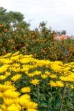 Día de fiesta lunar vietnamita del Año Nuevo del flor amarillo del albaricoque en el norte Fotografía de archivo libre de regalías