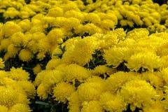 Día de fiesta lunar vietnamita del Año Nuevo del flor amarillo del albaricoque en el norte Fotografía de archivo