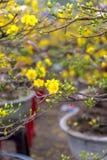Día de fiesta lunar vietnamita del Año Nuevo del flor amarillo del albaricoque en el norte Imágenes de archivo libres de regalías