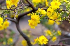 Día de fiesta lunar vietnamita del Año Nuevo del flor amarillo del albaricoque en el norte Fotos de archivo libres de regalías