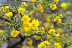 Día de fiesta lunar vietnamita del Año Nuevo del flor amarillo del albaricoque en el norte Foto de archivo