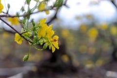 Día de fiesta lunar vietnamita del Año Nuevo del flor amarillo del albaricoque en el norte Imagenes de archivo