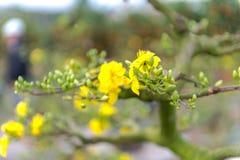Día de fiesta lunar vietnamita del Año Nuevo del flor amarillo del albaricoque en el norte Imagen de archivo