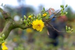 Día de fiesta lunar vietnamita del Año Nuevo del flor amarillo del albaricoque en el norte Fotos de archivo