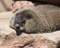 Día de Groundhog Foto de archivo libre de regalías