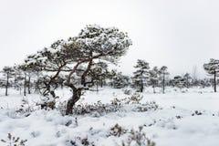 Día de invierno Nevado en el pantano Pequeños árboles del pantano foto de archivo libre de regalías