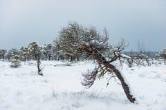 Día de invierno Nevado en el pantano Pequeños árboles del pantano imágenes de archivo libres de regalías
