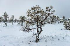 Día de invierno Nevado en el pantano Pequeños árboles del pantano fotografía de archivo libre de regalías
