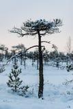 Día de invierno Nevado en el pantano Pequeños árboles del pantano fotos de archivo