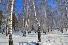 Día de invierno soleado en arboleda del abedul Foto de archivo