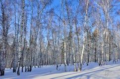 Día de invierno soleado en arboleda del abedul Fotos de archivo libres de regalías