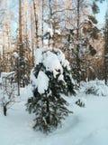 Día de invierno soleado escarchado en el campo nevoso Árbol de abeto joven debajo de la cubierta abundante de la nieve Foto de archivo libre de regalías