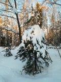 Día de invierno soleado escarchado en el campo nevoso Árbol de abeto joven debajo de la cubierta abundante de la nieve Fotografía de archivo libre de regalías