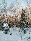 Día de invierno soleado escarchado en el campo nevoso Abetos jovenes debajo de la cubierta abundante de la nieve Imagen de archivo libre de regalías