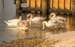 Día de los cisnes hacia fuera imágenes de archivo libres de regalías