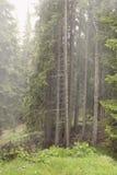 Día de niebla en el bosque con los pinos y los abetos en la luz Imagen de archivo