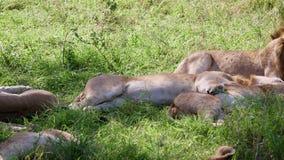 Día de Pride Of Lions Sleep In y agitar sus colas y rechazar moscas y parásitos almacen de metraje de vídeo