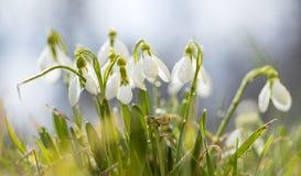 Día de Sunshining con el prado de snowdrops fotos de archivo libres de regalías