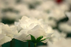 Día de tarjetas del día de San Valentín de Rose Fotografía de archivo libre de regalías