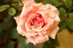 Día de tarjetas del día de San Valentín imponente Rose Pink Botany February 14ta Fotos de archivo