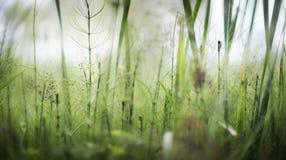 Día de verano cada vez mayor de la cola de caballo en el pantano Foto de archivo libre de regalías