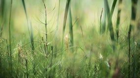 Día de verano cada vez mayor de la cola de caballo en el pantano 2 Fotografía de archivo libre de regalías
