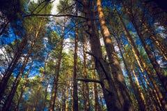 Día de verano en un paisaje del bosque del pino Imagenes de archivo