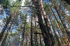 Día de verano en un paisaje del bosque del pino Imágenes de archivo libres de regalías
