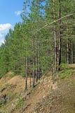 Día de verano en un paisaje del bosque del pino Foto de archivo
