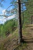 Día de verano en un paisaje del bosque del pino Fotografía de archivo libre de regalías