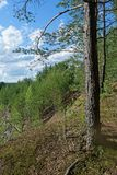Día de verano en un paisaje del bosque del pino Fotos de archivo libres de regalías