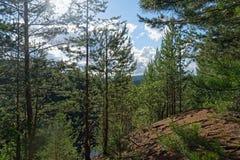 Día de verano en un paisaje del bosque del pino Imagen de archivo